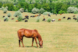 Red horse grazing at meadow - 231239625