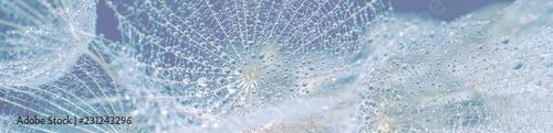 Beautiful dew drops on a dandelion seed macro. - 231243296
