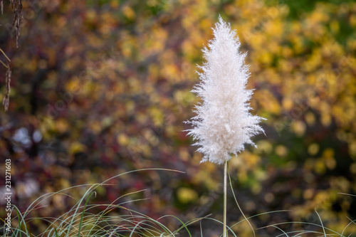 Pampas grass in the garden