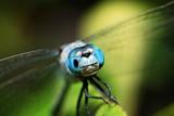 blue dragonfly - 231280846