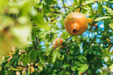 Pomegranate ripens on a tree branch in Provence