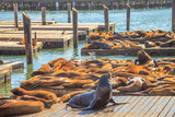 Male sea lion sunbathing in the foreground. Colony of sea lions at Pier 39 in San Francisco, California, United States. Travel holidays concept. - 231319037