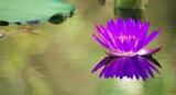 Seerose in Lila - 231321051