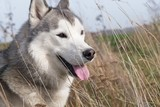 Siberian husky walking in autumn field. Close-up view.