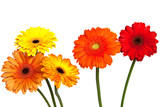 Five gerbera flowers against white background