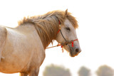 close up face of white horse standing outdoor - 231338056