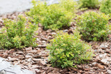 Row of green bushes on brown sliver in the garden - 231345651