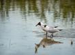 Leinwanddruck Bild - two black-headed gulls standing in the lake and squarreling - nationalpark Neusiedlersee Seewinkel Burgenland Austria