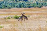 Giraffe in a Fight  - 231376473
