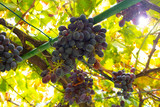 Close-Up Of One Grape Bunches At Organic Vineyard Against Sky