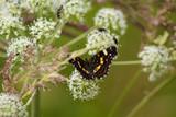Landkärtchen (Araschnia levana) Schmetterling