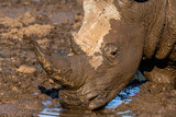 Portrait of a white rhinoceros drinking water in the Mokala National Park in South Africa - 231388894