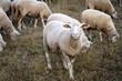 Leinwandbild Motiv Schaf