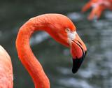 A Pink Flamingo close up