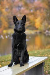 Pies, owczarek niemiecki siedzący na ławce w parku