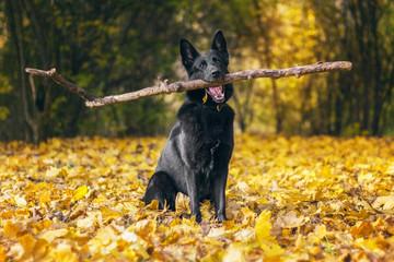 Pies, czany owczarek niemiecki trzymający duży patyk, siedzący wśród liści
