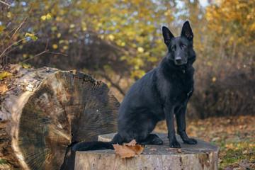 Pies, czarny owczarek niemiecki siedzący na pniu w praku