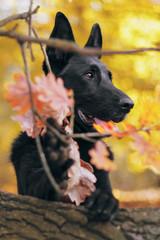 Protret psa, czarnego owczarka niemieckiego wśród liści