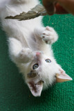 Little white cat playing. Kitty lay on green carpet.