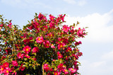 sasanqua flowers are in bloom a lot - 231430648
