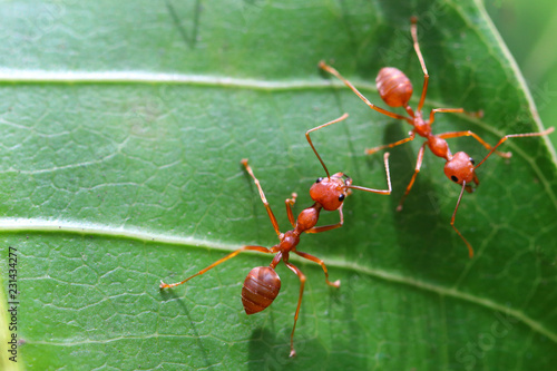 Foto Murales Red ant (Oecophylla smaragdina),Action of ant on a green leaves.