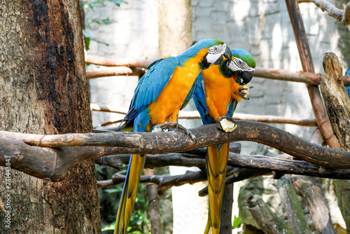 Leinwanddruck Bild Blue and Yellow Gold Macaw Parrot Beautiful Birds in Zoo