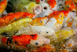 Multicolored fish carp on the water surface - 231455605