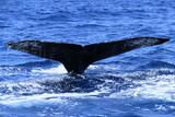 尾ひれを上げるザトウクジラ
