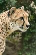 Cheetah head in detail.