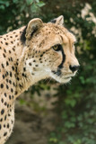 Cheetah head in detail. - 231462855