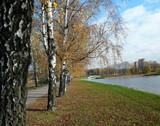 birch alley at autumn - 231479601