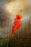 Poppies in rain