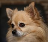 Chihuahua dreaming