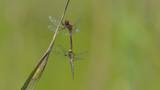Due libellule in riproduzione, rossa e gialla, in autunno nel prato verde - 231489271
