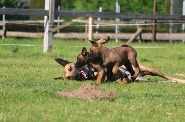 funny small malinois puppies are playing with the mum in the garden