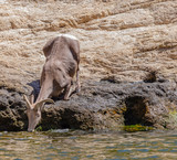 Big Horned Sheep in Arizona wilderness desert near a lake drink water during the hot summer - 231494481