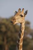Giraffe - 231507415