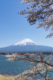 Fuji mountain with snow cover on the top with cherry blossom.
