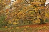 Uralte Rotbuche (Fagus sylvatica) im Herbst  - 231513214