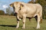 Charolais bull on an autumn pasture - 231514209