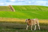 calf on an autumn pasture - 231514218