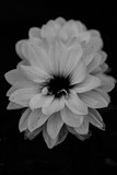 Black and white flower close up