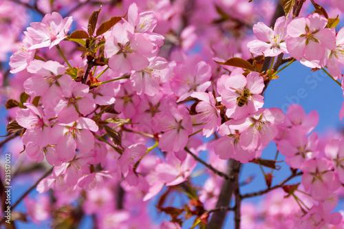 Blühende japanische Kirsche I