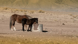 Brown wild mustang mare and her black colt in a desert in Nevada, USA, driking water in a metallic water container - 231527865