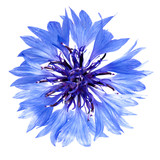 Blue cornflower cut out, isolated on a white background