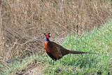 A rooster pheasant - 231528819