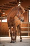 Rotes Islandpferd steht angebunden im Stall - 231529660