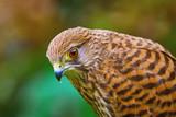 Common Kestrel (Falco Tinnunculus) - 231532476