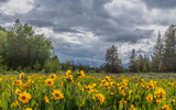Field of Sunflowers in front of Tetons - 231537866