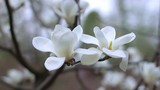 white magnolia flowers, flowers of white magnolia,white magnolia, white Magnolia flowers on tree branch, Magnolia tree blossom, white magnolia blossoms floral natural background - 231539016